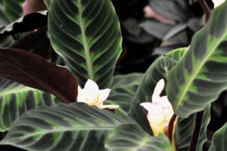 天鹅绒竹芋的养殖方法和注意事项