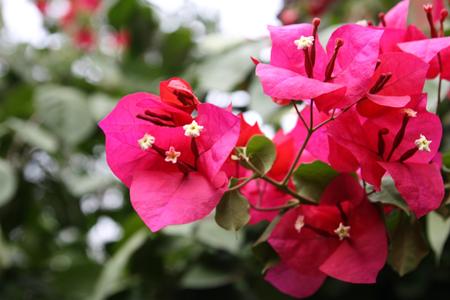 盆栽三角梅的养殖方法和注意事项