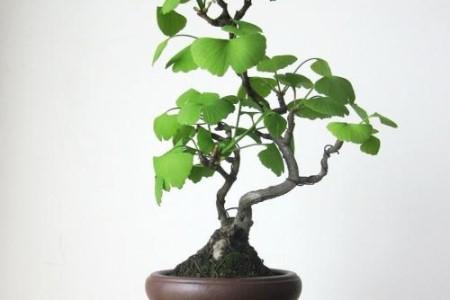 银杏树盆景