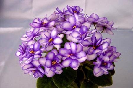 盆栽紫罗兰怎么养