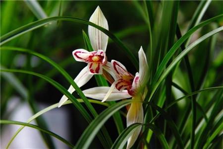 兰花怎么养才能旺盛、枝繁叶茂?
