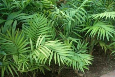 袖珍椰子秋天怎么养
