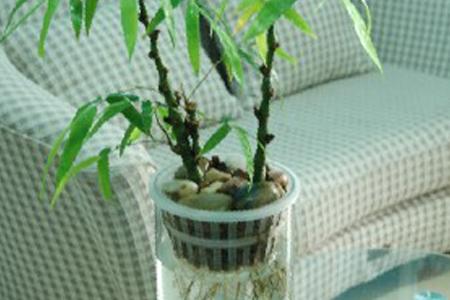 水养�:--y��yan������y��_水养竹子太高从哪里剪 水养竹子太高从哪里剪,叶子黄了怎么修剪?