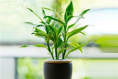 富贵竹栽什么样的花盆好看,一个花盆放三颗可以吗