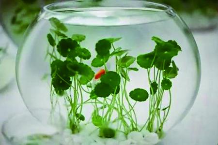 铜钱草可以水下养吗,能在水下生长吗