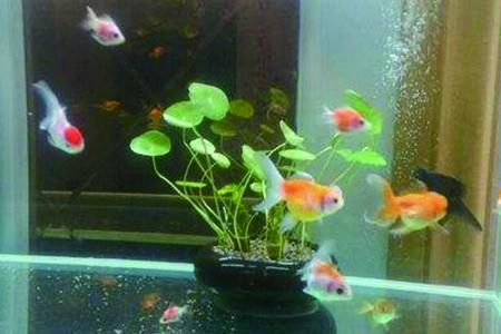 铜钱草水培可以养鱼吗,什么水培植物可以养鱼