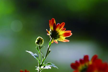 盆栽小菊花