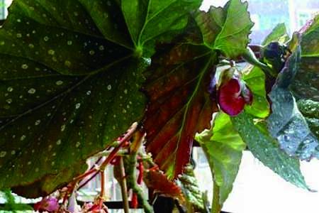 大叶海棠花
