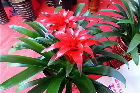 富贵竹有什么作用_种什么植物旺财,客厅养什么植物风水好 - 花百科