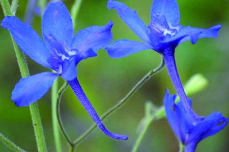 蓝雀花怎么养