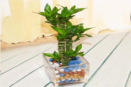荷花竹可以水培吗