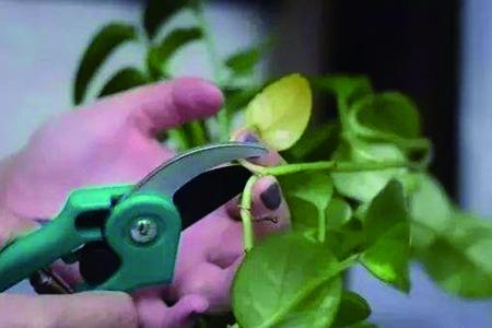 大绿萝怎么修剪