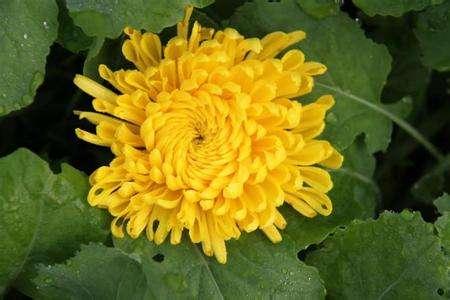 菊花茶有哪些品种_室内适合养菊花吗 - 花百科