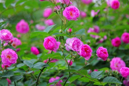 爬藤蔷薇花