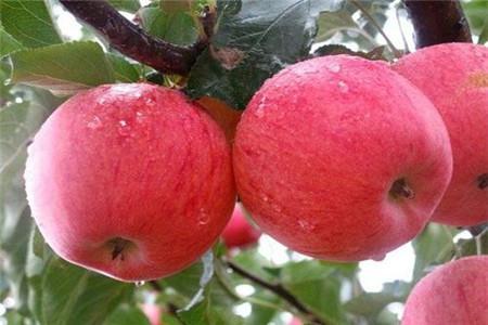 中秋王苹果