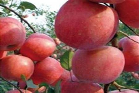 国庆红苹果