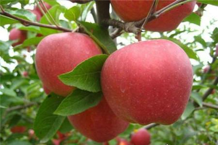 映雪红玲苹果