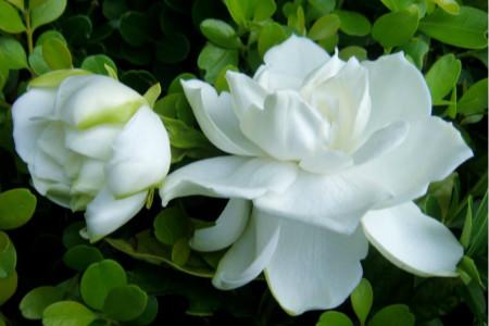 栀子牡丹花