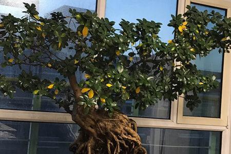榕树叶子发黄
