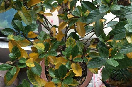 栀子花叶子发黄