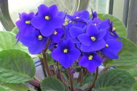 水养紫罗兰