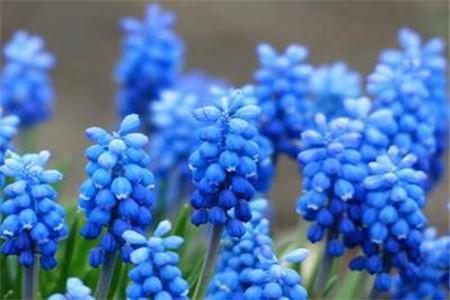 蓝色风信子