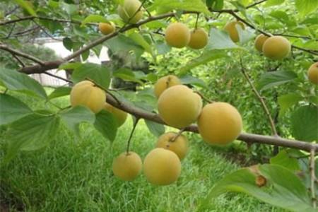 梅花的果实