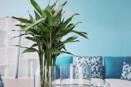 养于客厅处的富贵竹