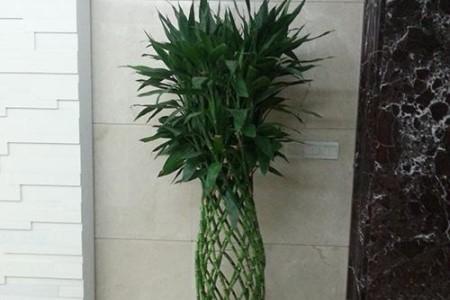 养于门口的富贵竹