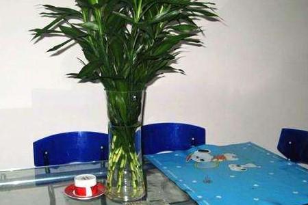 养于餐桌上的富贵竹