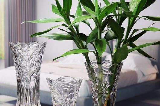 养于卧室中的富贵竹