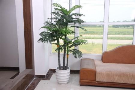 养于客厅的散尾葵