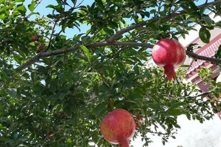 盆栽石榴树怎么打顶