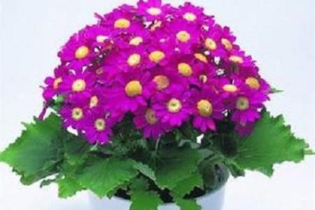 养于温度适宜位置的瓜叶菊