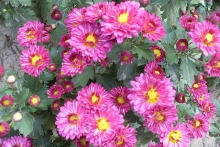 养于温度适宜位置的四季菊花