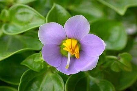 紫芳草的养殖方法