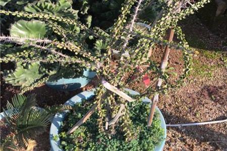 亚蜡木浇水方法