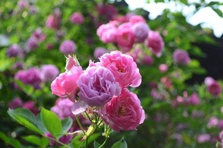 教你蔷薇花怎么养