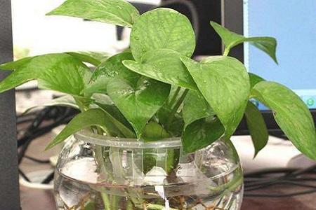 水培植物养大后怎么办