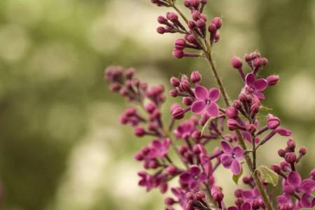 丁香花成ren礹c._丁香花的养殖方法和注意事项