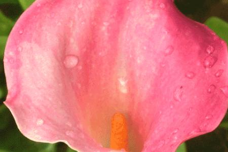红花马蹄莲