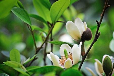 含笑花扦插多少天生根
