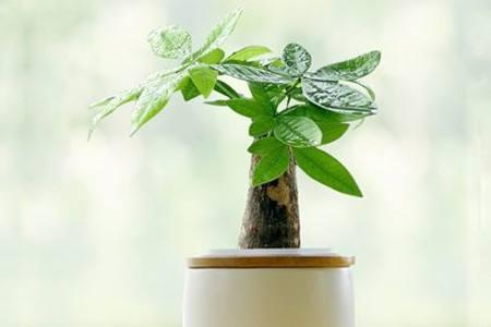 家里的发财树要多少天浇一次水