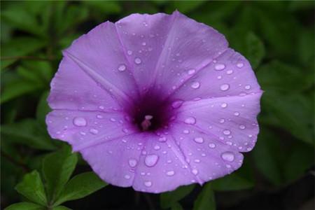 盆栽牵牛花多少天浇次水