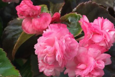海棠花树怕冻吗图片
