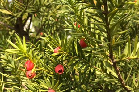 红豆杉叶子发黄怎么回事,怎么办
