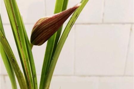 兰花花苞一直不开花的原因和处理方法插图(1)