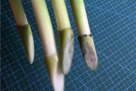 富贵竹剪根须会死吗,剪掉根须后怎么养插图(3)