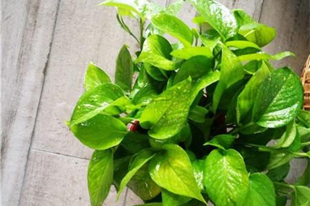 绿萝是不是对猫有毒,猫能不能闻绿萝插图(3)