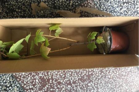 黑加仑葡萄树